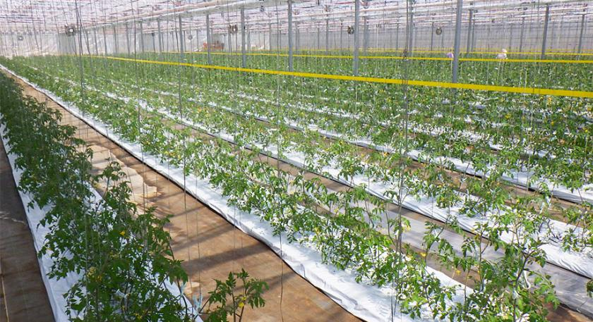 Agricultural Revolution: Growing Vegetables with Film without the use of Soil